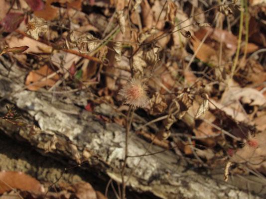 大好きなコオヤボウキのタネの姿 花もかわいい