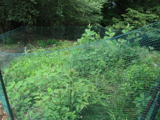 華厳山のヒオウギ広場の鹿よけ囲いのなか ボウボウにタケニグサが生えている 肝心のヒオウギは数本認められるだけ