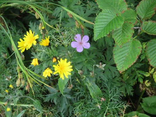 明るい雰囲気のお花たち 黄色はコウゾリナか? ハクサンフウロのピンクは上の方に来てまだ咲き残っているものがあった