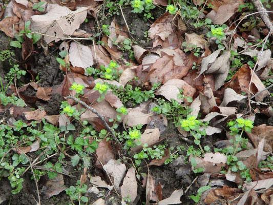 ネコノメソウ 春を感じる植物