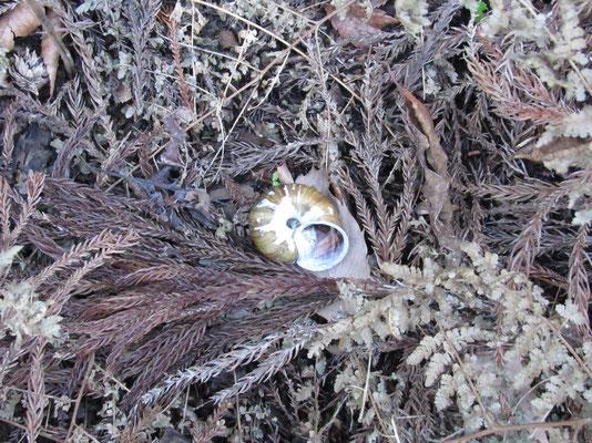 途中に落ちていたマイマイの貝殻