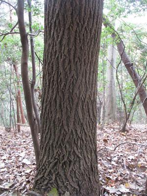 写真は美しくはっきりとしたハリギリの木肌 これはとても明瞭な模様が出ている個体