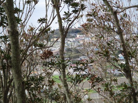 海の方からまともに暴風雨を受けた南面の木は殆どの葉を落としスカスカ状態 枯れた枝越しに白浜方面や灯台も見える