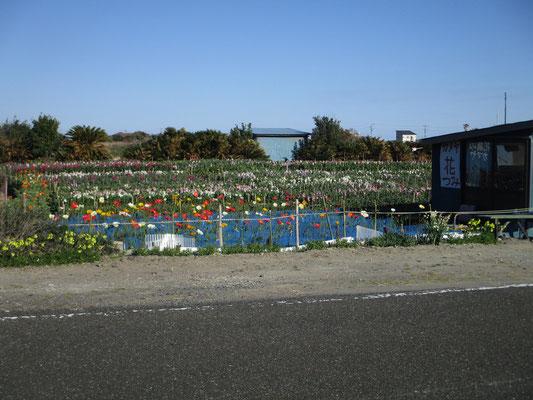 もう花が咲き始めているフラワーロード近辺の花畑