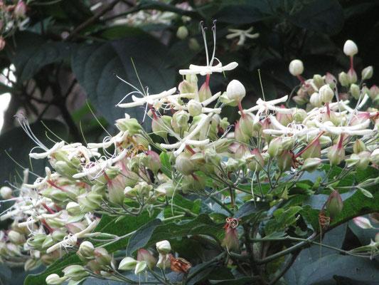 クサギという木は名前は知っていたが、こうした花の開花の経緯・様子は初めて知った