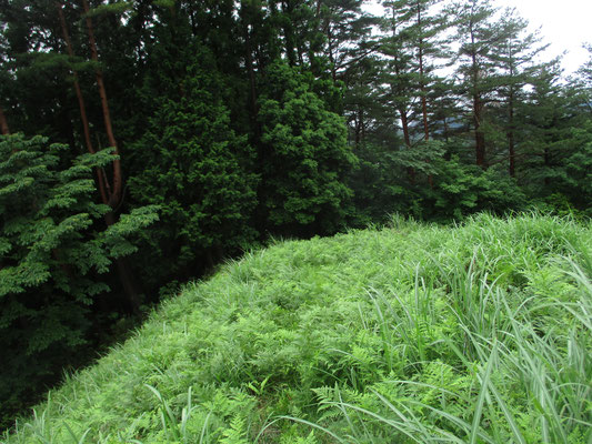 高圧線周辺は木が伐採され、超日当たりがいいので周囲一帯「ワラビ畑」