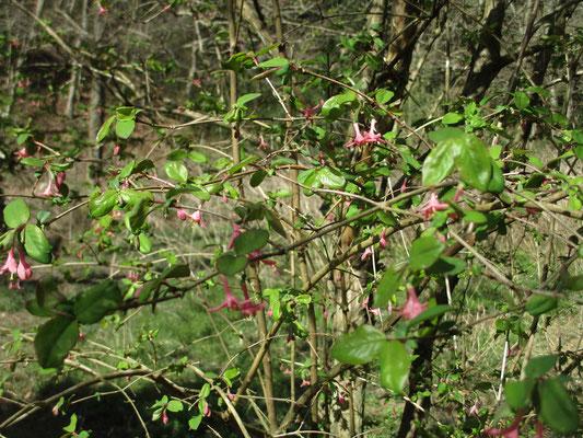 春まっさきに咲き始めるウグイスカグラ 山ではいつも寒い内からこの花は見つけられる