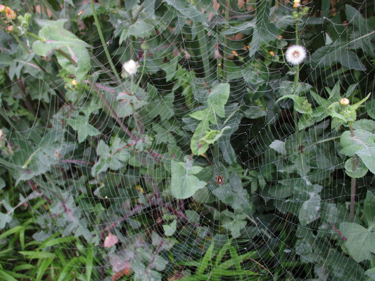 クモの巣 何クモか?これも調べ中 ヤマシロオニグモか?と思ったが、よくよく見るともっと愛嬌がある雰囲気 やはり違うみたい