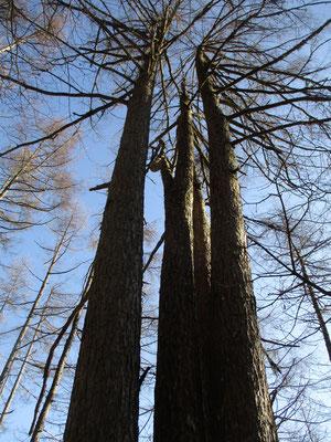 「五本松」と名付けられたカラマツの巨木