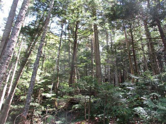 それが切込湖に近づくにつれ、シラビソの森へと変化していきます