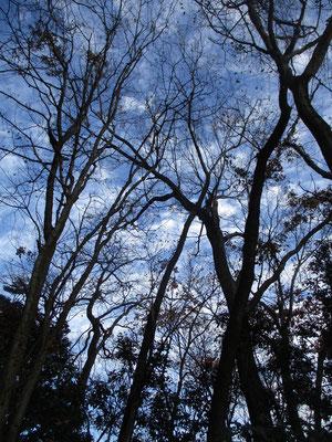 登っていくとすでに樹々は葉を落とし冬の姿 その分、見通しがよくなる