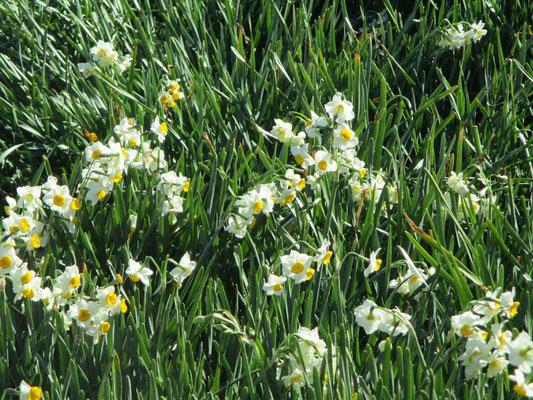 いい香りいっぱいの水仙 自生のものは岬の上の方に咲いています