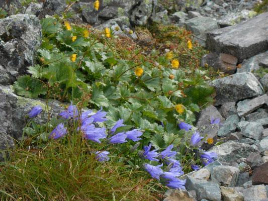 岩屑などに張り付くように咲くイワギキョウ