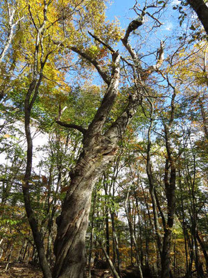 山頂にあった巨大なクリの木 でもちょっともうお年のようです