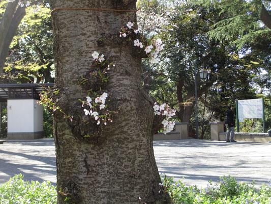 太い幹に咲く花