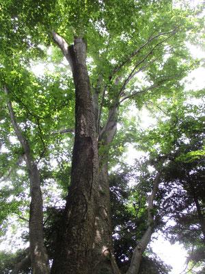 高取山直下にある、サクラの木にそっくりなミズメの大木