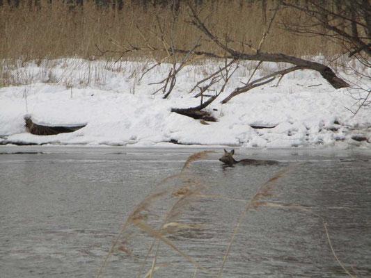 釧路川を不本意にも必死に泳いでいるシカ