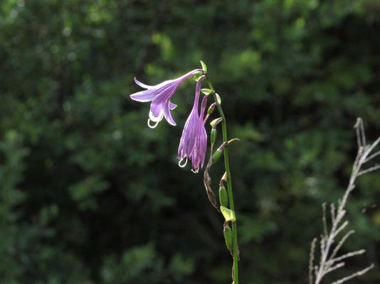 ほとんど種になっている中に咲き残っていたギボウシ