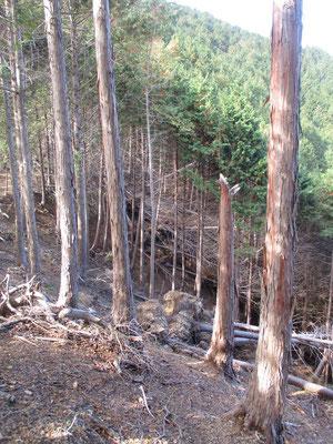 植林帯の倒木 間伐など手入れがされていないこのような植林帯は下草もなく、つまり保水力も乏しく、一気に水が土を伴って流れてしまう 根の張りも弱い脆弱な植林は風にも弱く倒木が多い