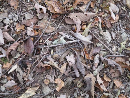一面の落ち葉1 植林から抜けると一気にカサコソと落ち葉の合唱 殻斗(どんぐりの帽子)もたくさん落ちている これはミズナラか…