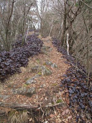 稜線に着いて第2真富士山に向か始めると、いきなり痩せ尾根の両脇が一面のイワカガミかイワウチワの群落 寒さに対抗するためなのか、緑の葉がすべて深い紫色に変わっています