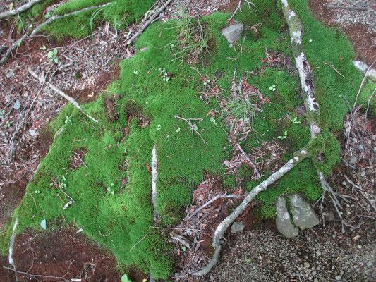 苔も水分の多い日が続いているせいか、色もみずみずしく美しい