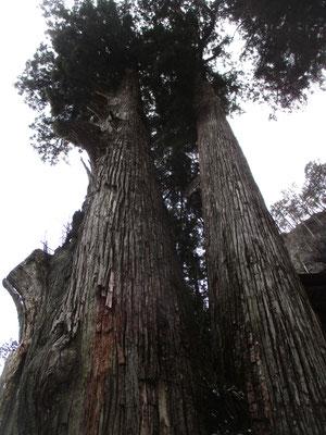 とてつもなく大きな「矢立杉」