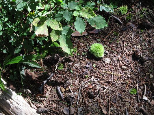 緑の子ねずみ!というカワユサ 何故か転がり落ちていた苔玉