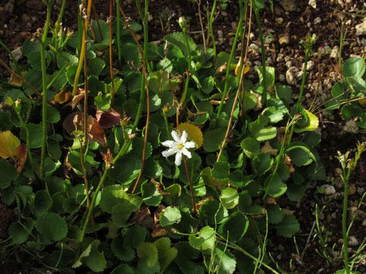 水辺にミツガシワが一輪、咲き残っていました