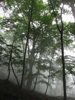 稜線に着く頃には大きなブナの木が現れる