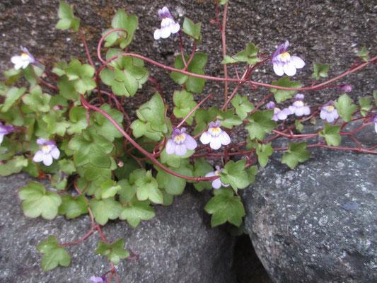 散歩コースの通り道の石積みの塀にきれいに絡まりつつ咲いている こうした石積みの塀も今では滅多になくなってしまっている