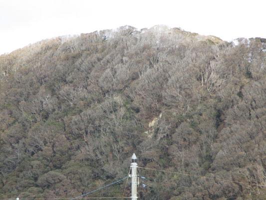 望遠で撮った城山の稜線部 マテバシイの林は本来深緑に見えるはずなのに、潮風をまともに受けているので葉が落ちスケスケに白っちゃけている