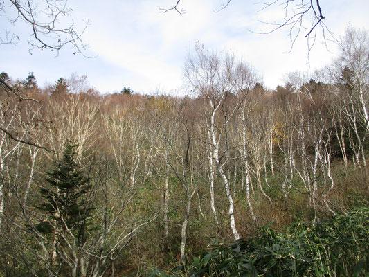 ダケカンバの林