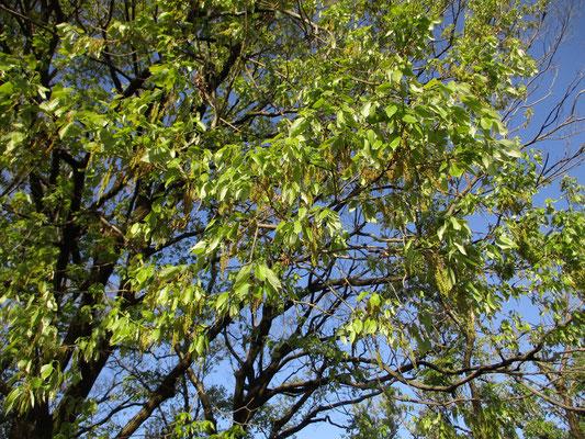 4月14日のクヌギの花の様子 これもすでに全部落ちてしまい、今は新緑が日増しに濃くなっている