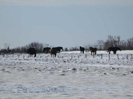 晴れているとは云え、氷点下のなか立ち尽くす馬たち