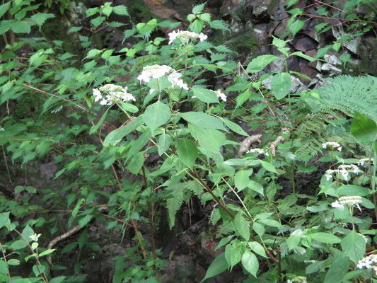 ヤマアジサイの真っ白な花