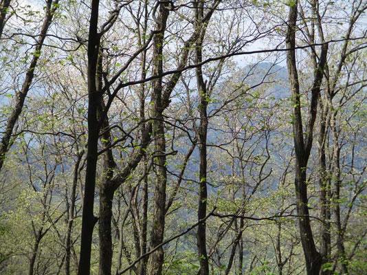 権現山へは急登でしたが、ふり返れば樹林越しに淡く百蔵山が見えます