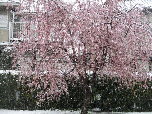 雪をつけた、この前スケッチしたしだれ桜
