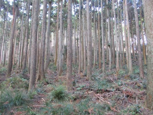 きれいに整備されている植林杉
