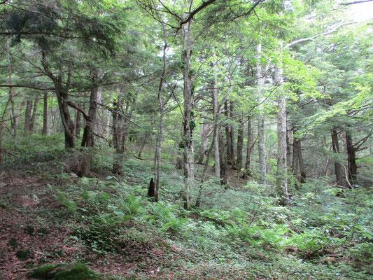 地蔵峠への下山路は大きなコメツガの森 しっとりといい雰囲気ですが、八ヶ岳のそれとは異なります