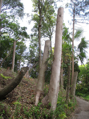 これはちょうど葉が茂る幹が枝分かれするような高さからバッサリとやられている木