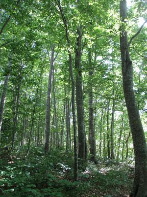 一歩入るとスラリとした美しいブナが高く林立しています