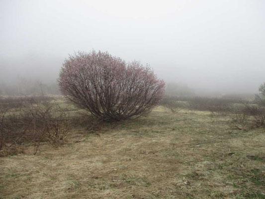 霧のなかに浮かぶサクラの木
