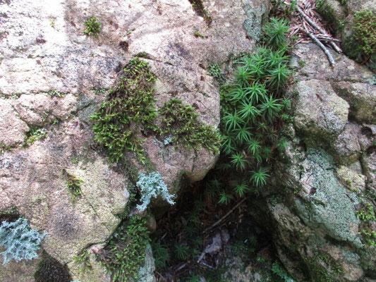 岩と苔 美しい苔が多く、しばし『苔と歩く』(田中美保著、WAVE出版)の話で盛り上がりました