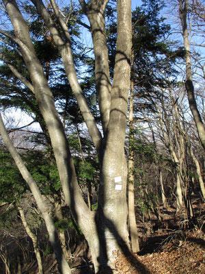 下山には高取山の北尾根を行きます ここが西山のなかでも一番安全でよいルートとなっているので下山として使っています 下山するその場所には見事な「みずめ」の木があります まるで桜の木としか思えないような姿ですがカバノキ科で科も異なります 花は今上天皇のおしるしとなっているそうで「西山を守る会」ではこの木に看板を付けて皆んなで大切にしています