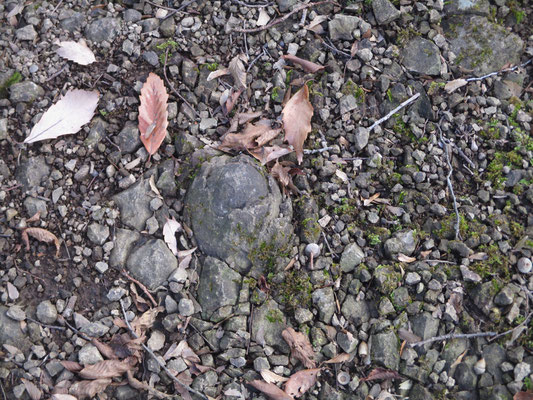 東丹沢に多い「玉ねぎ石」岩石の風化過程で形成されたものだそうですが、元は海底の乱泥流堆積物とのこと