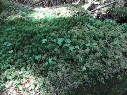 美しい苔 三つ葉のはミヤマカタバミの葉っぱ