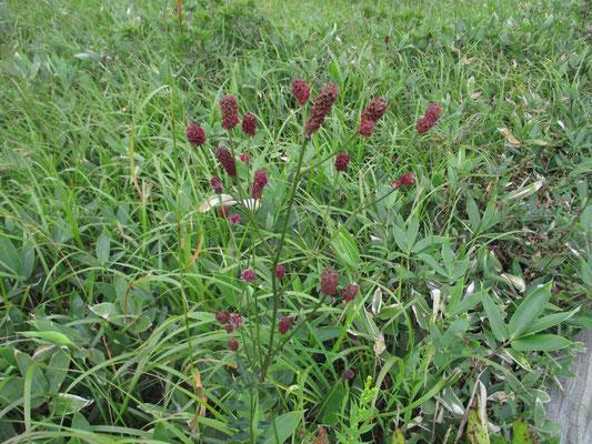 ワレモコウの渋い赤が湿原の草原一面に拡がっていました