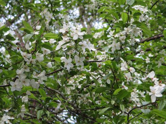 ズミの花が早くも咲いていました