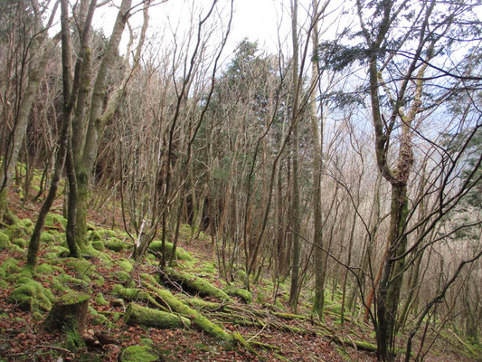 稜線が近づき再びの自然林で、最後はまた植林帯の登りになってヲイ峠下降点に到着